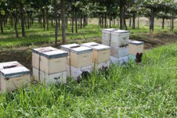 Bees in a Kiwifruit Orchard