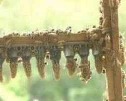 Queen Bee Cells